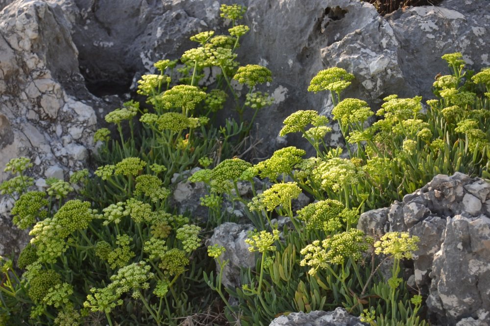 sea fennel 2