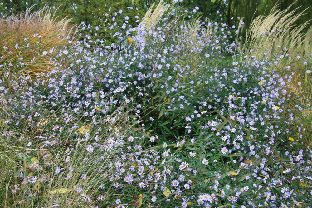 aster and grass