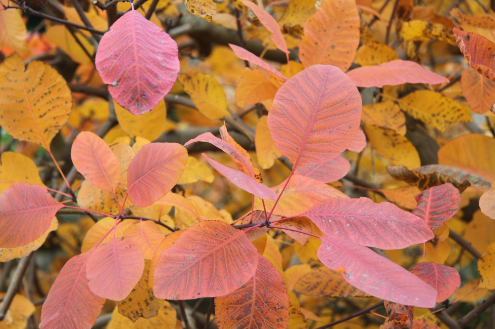 close up cotinus camberwell