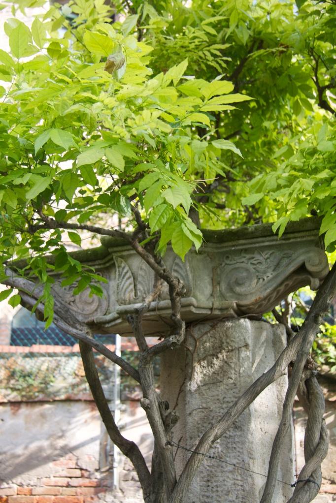 wisteria colum 1
