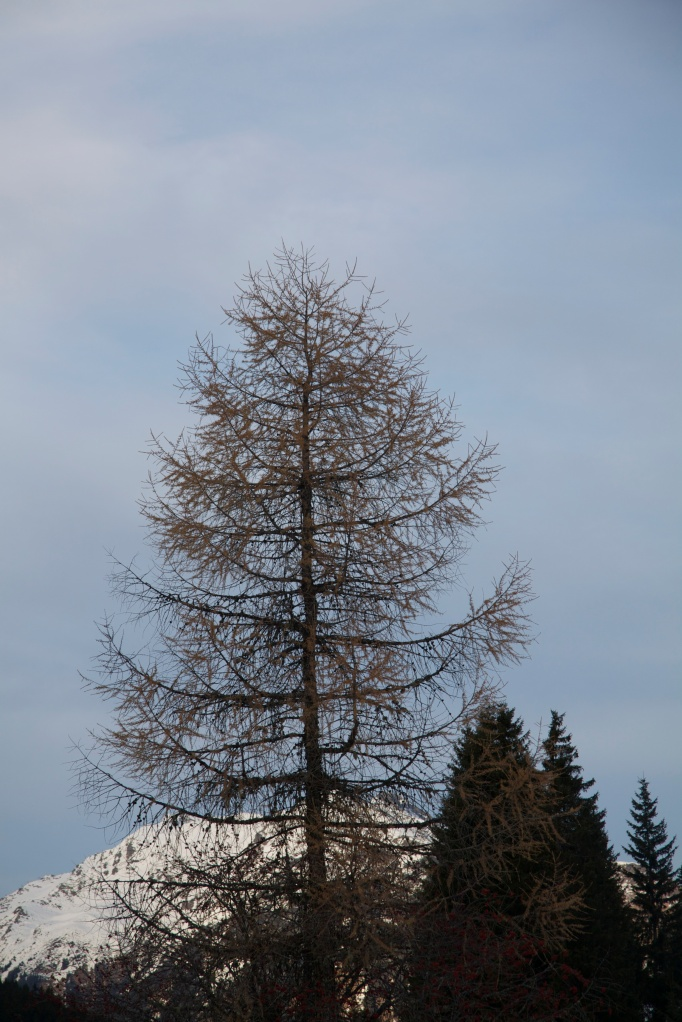 grand single larch