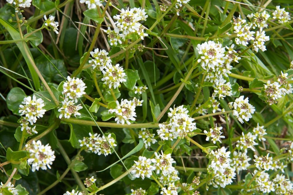 white flower tbc