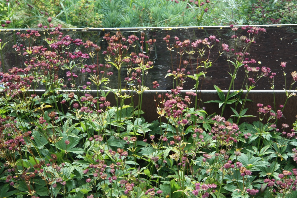 ASTRANTIA AND CORTEN