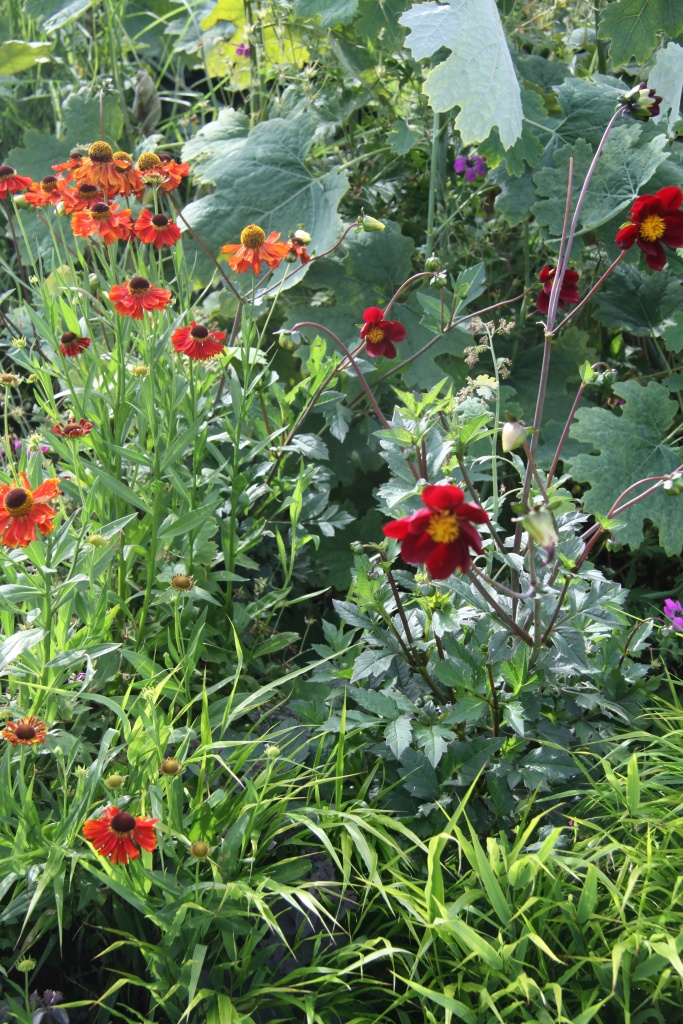 dahlia , machalya, helenium and hakenacloa