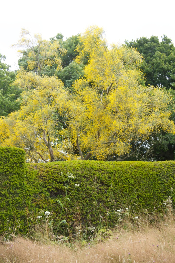 DIXTER BROOM OVER HEDGE