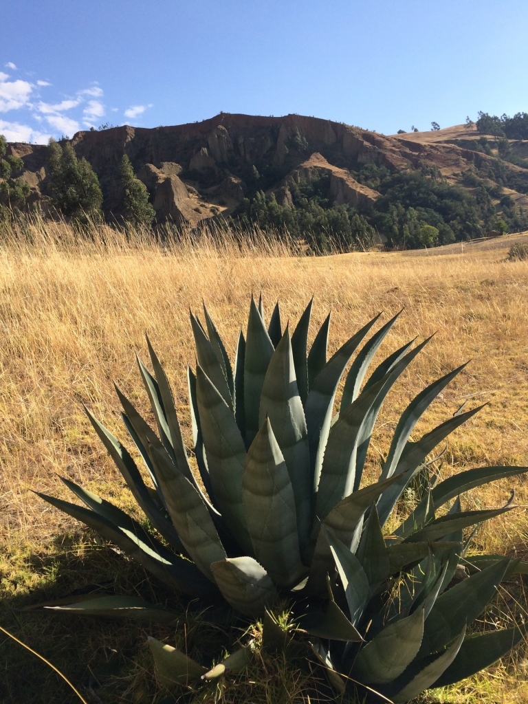 agave high andes