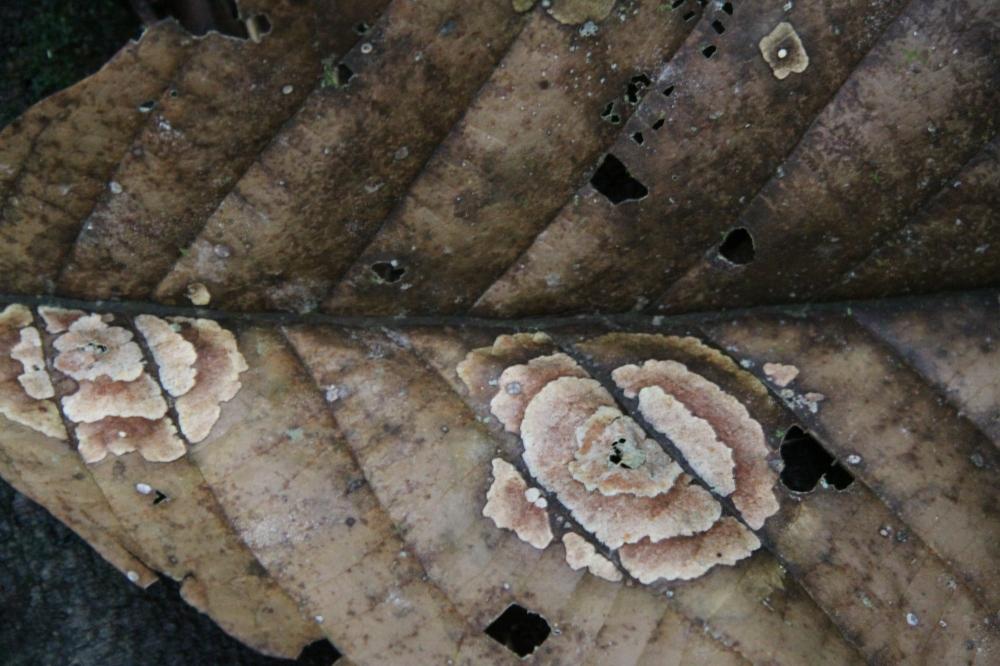 fungus leaf 1