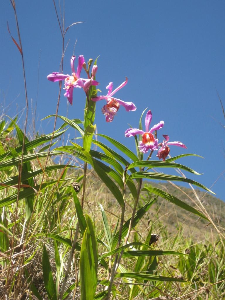 machu pichu orchid sobralia 55