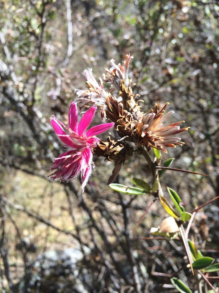 pink flower llaulli p54 startrite walk