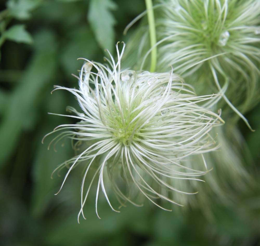 close up clematis seed head