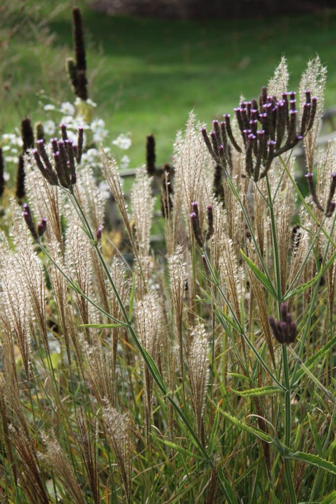 miscanthus sinensis 'unidine' with Verbena hastata 'Rosea'