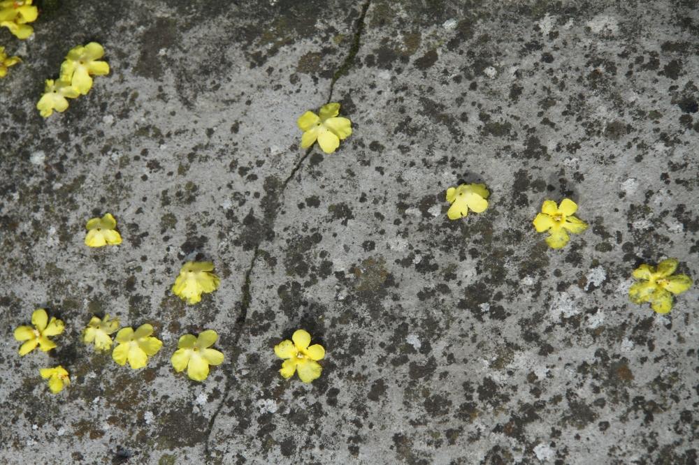 verbascum petals