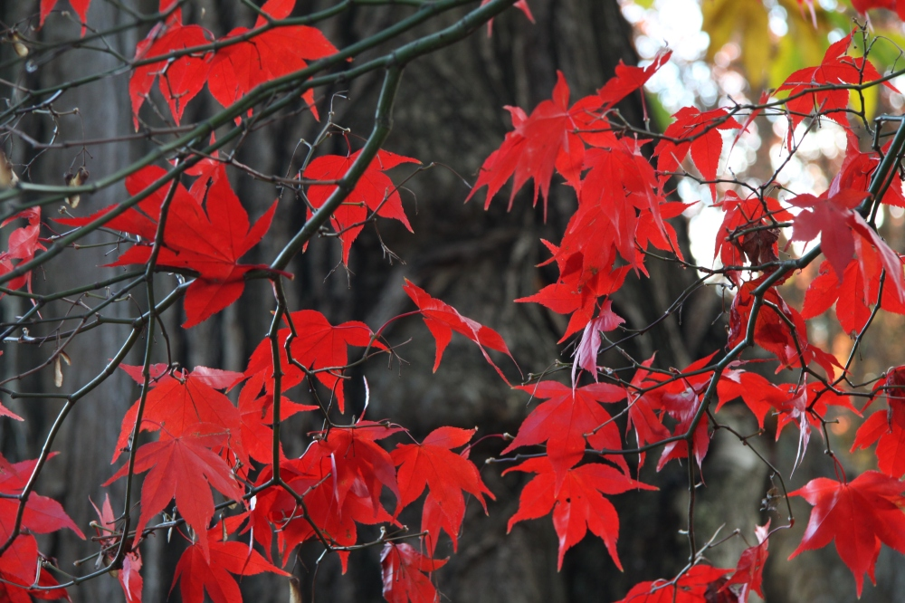 acer palmatum how red is red
