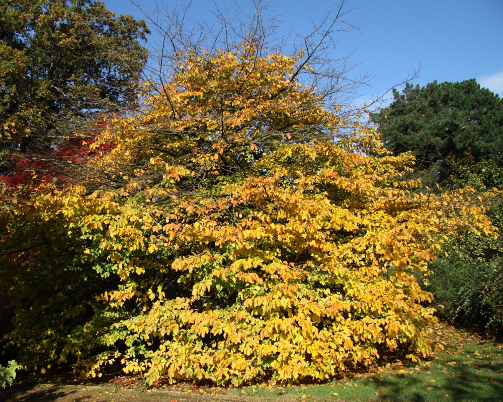 parrotia persica establish