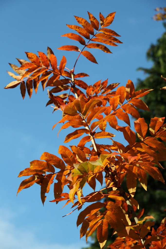 saville sorbus against sky