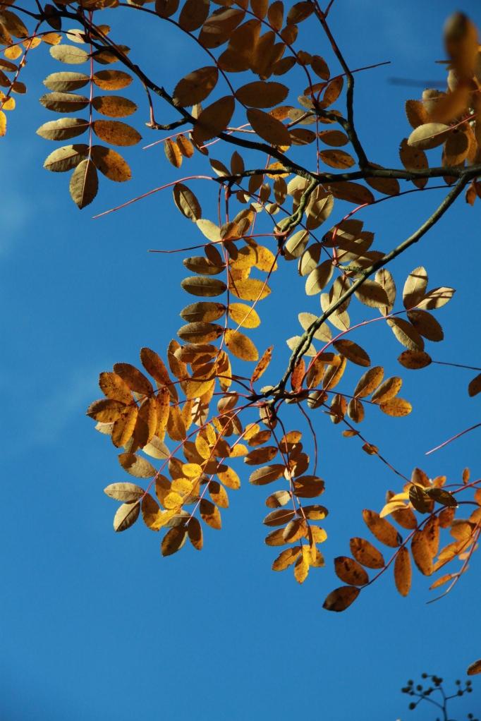 sorbus huphehensis gold blue