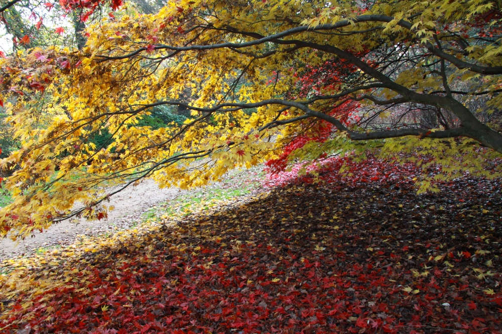 sweeping red and yellow acer