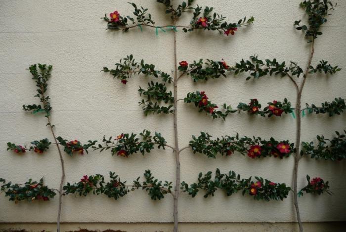 700_espalier-camellia