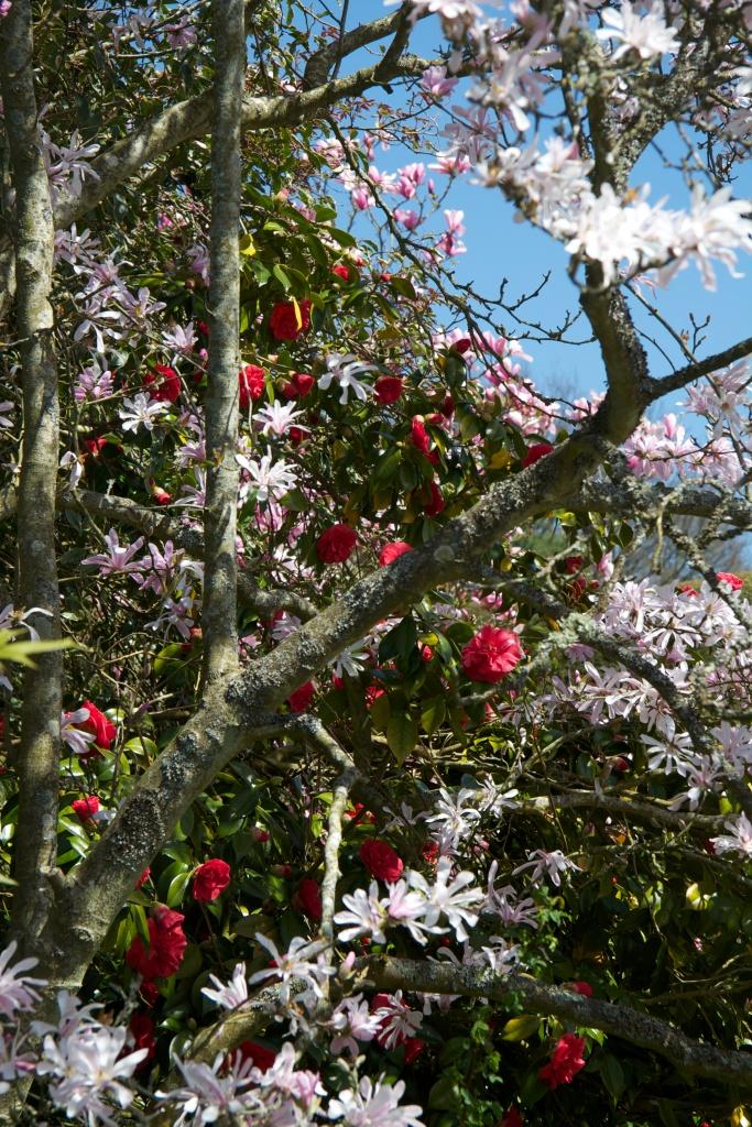 great dixter camellia magnolia