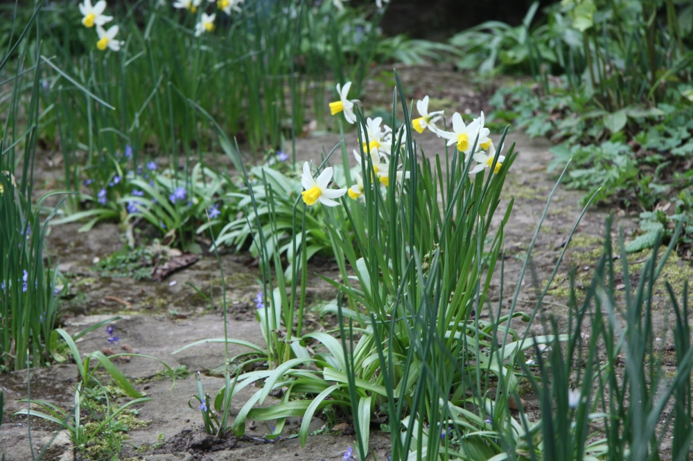 close up narcissus and chionodoxa