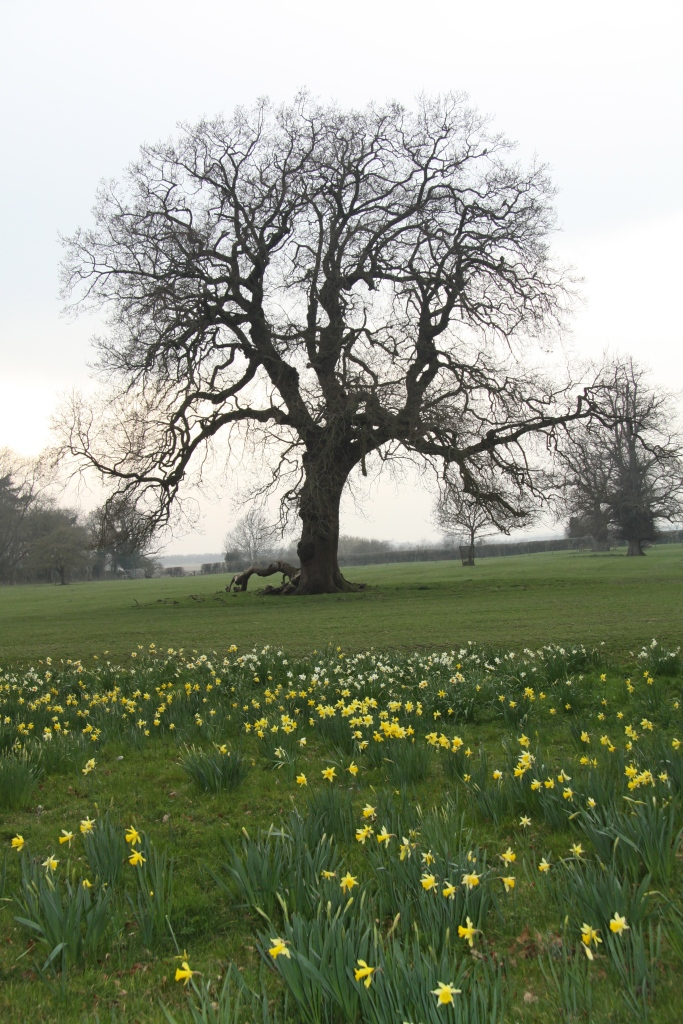 oak tree and narcissus