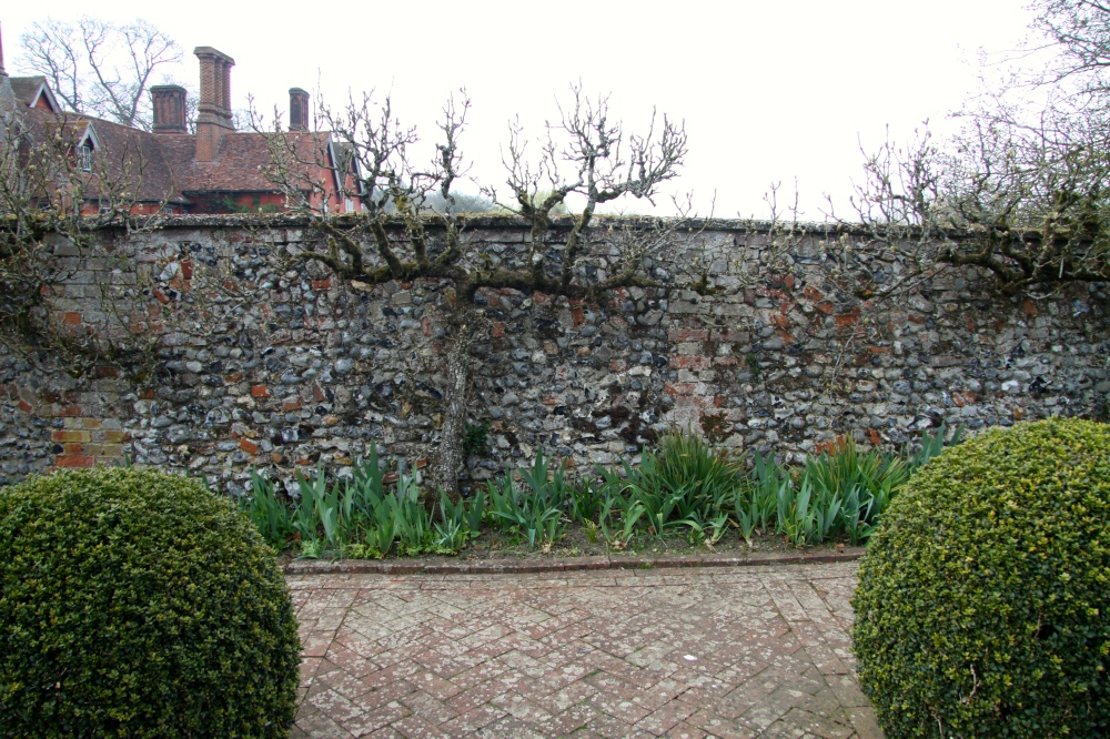 pear tree iris allum
