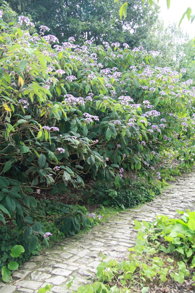 hydrangea villlosa and path