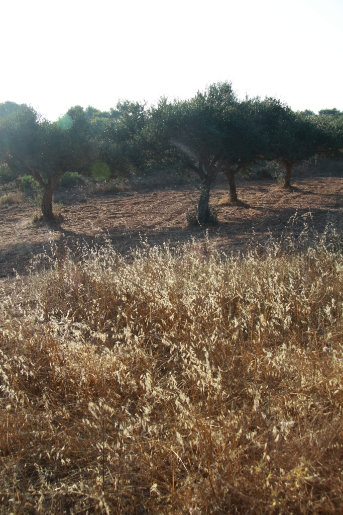 white grass olive trees