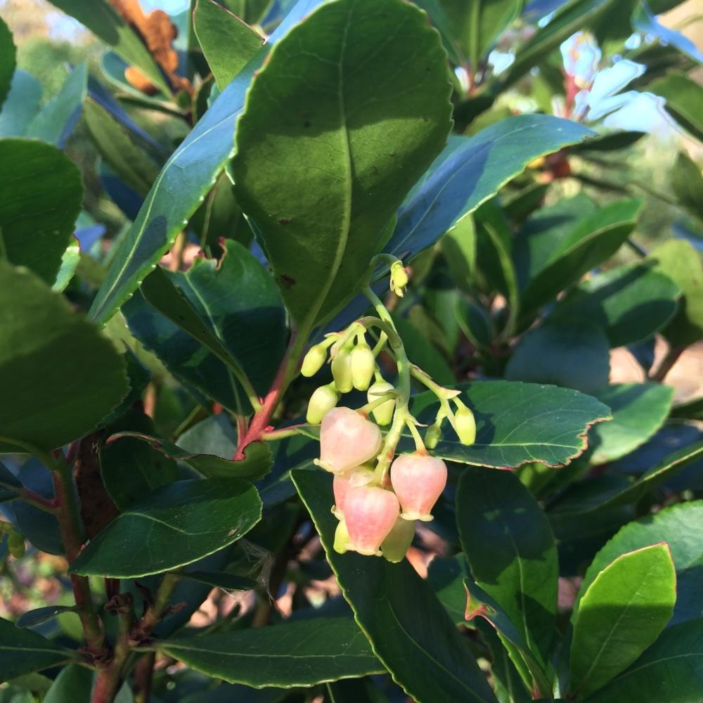 arbutus flower 2