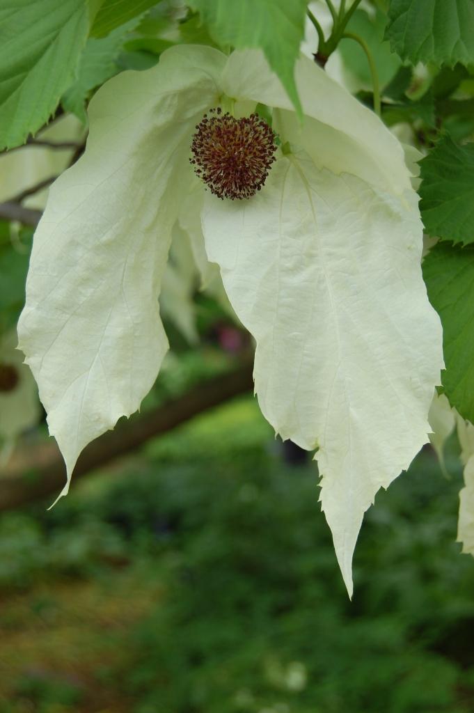 davidia-involucrata-flower