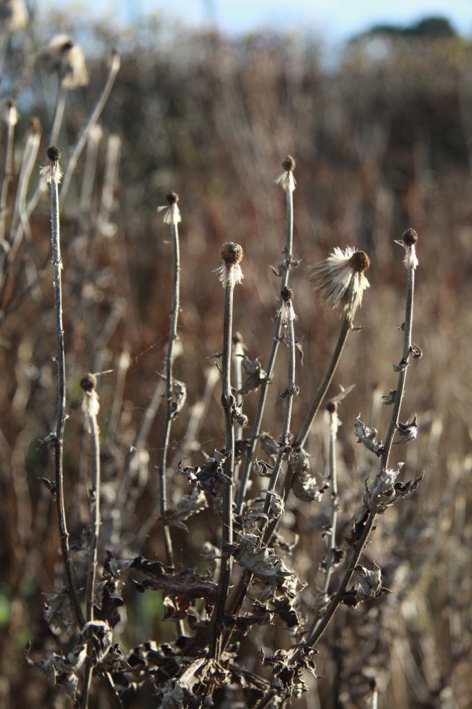 echinops 4