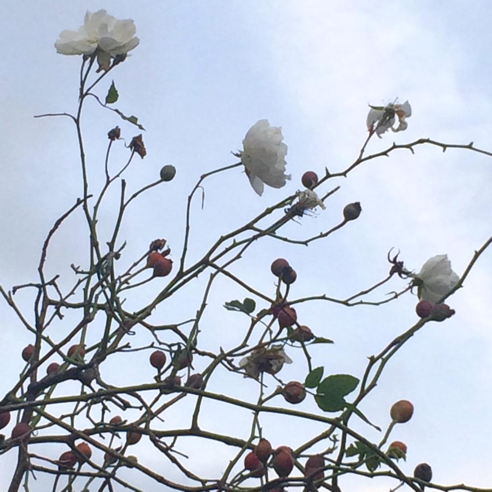 white rose hips 1