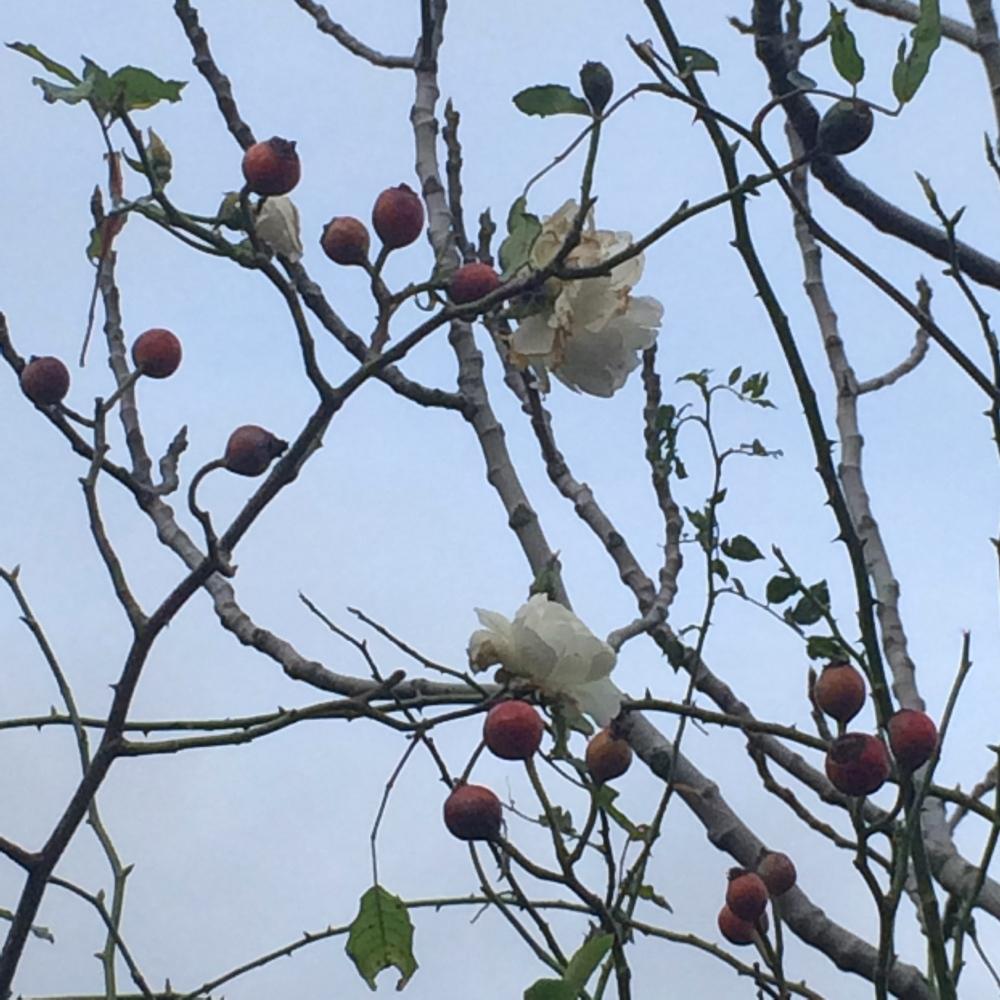 white rose hips 2