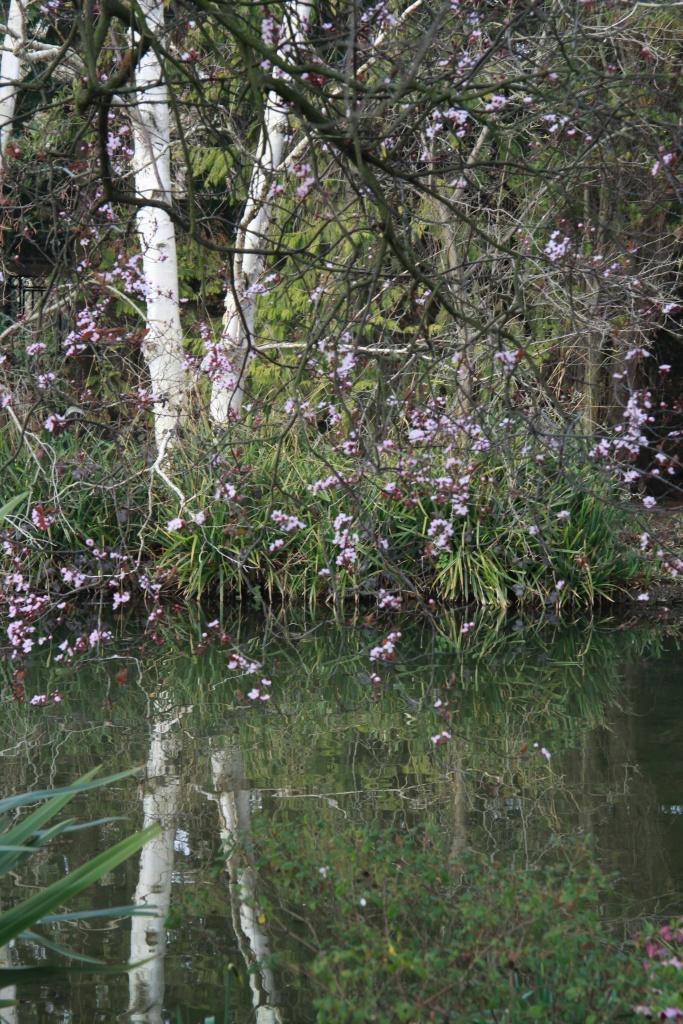 cherry silver birch