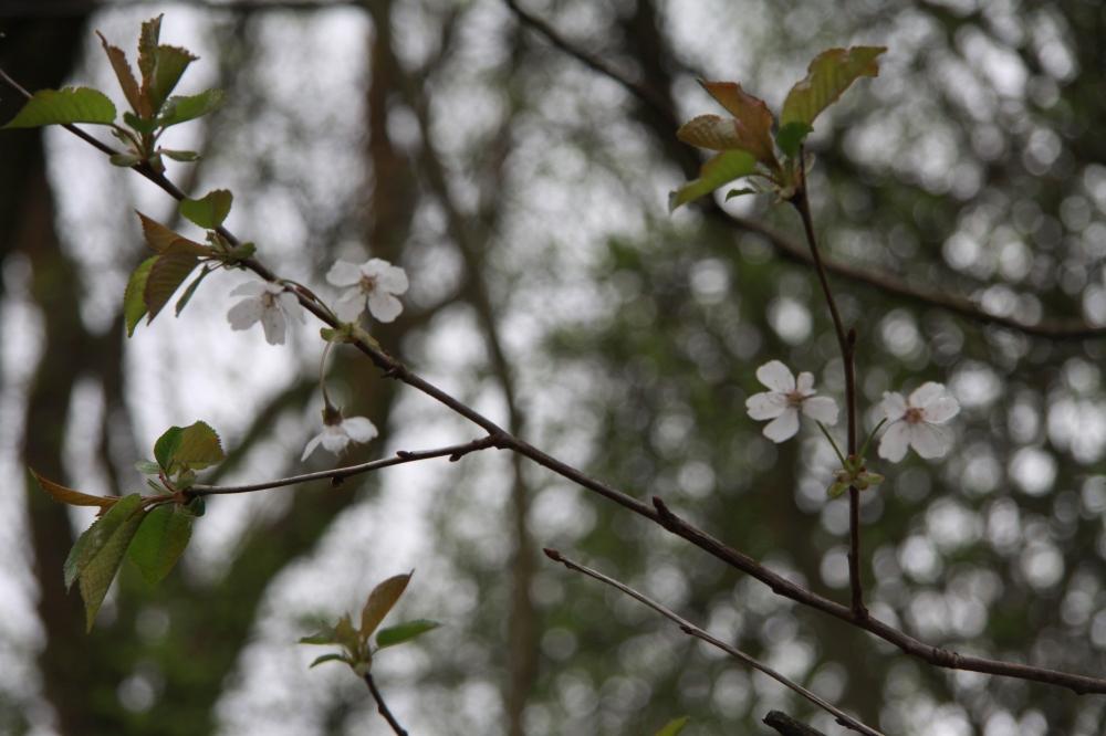 dat wild cherry 2