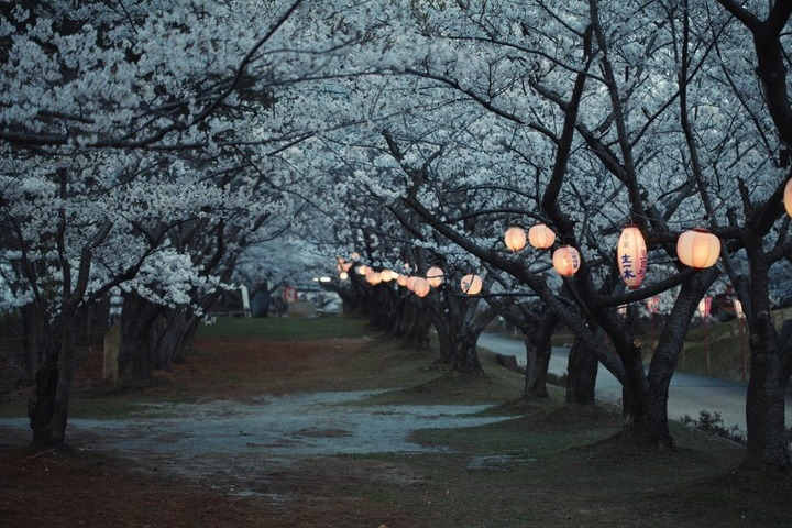 japanese-lanterns-in-park-full-of-sakura-trees_16