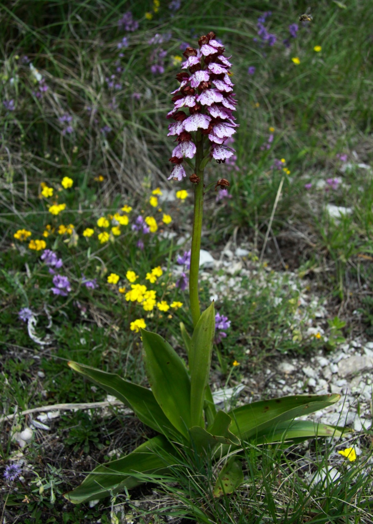 orchis purpurea lady orchid