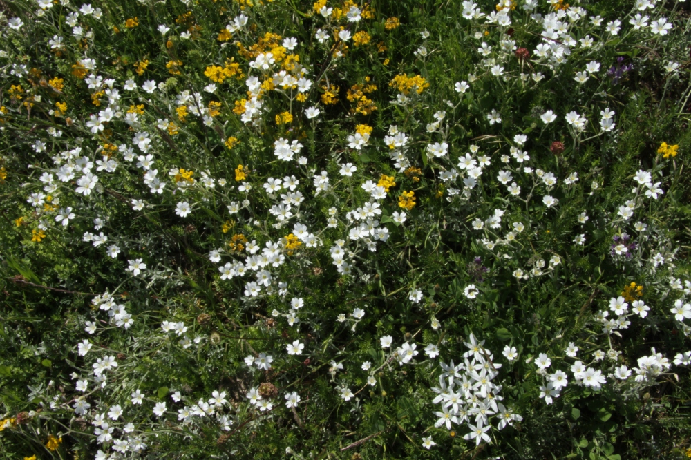 snow in summer coronilla and star