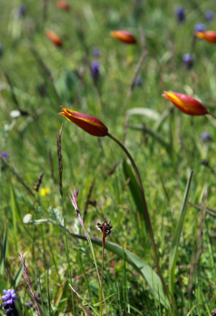 tulip portrait