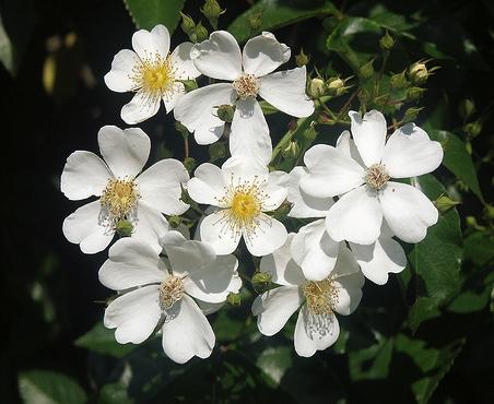 rosa-mulliganii