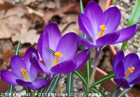 crocus-tomm-ruby-giant