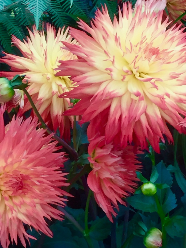 The dahlia papers gardens plants ideas gorgeous salmon pink and cream dahlia above and dahlia karma yin yang below spotted at the chelsea flower show izmirmasajfo